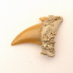 Fossilised Shark's tooth